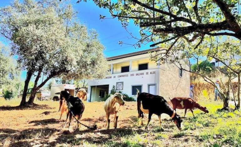 cabras-vao-ajudar-a-prevenir-fogos-em-aldeias-de-figueiro-dos-vinhos