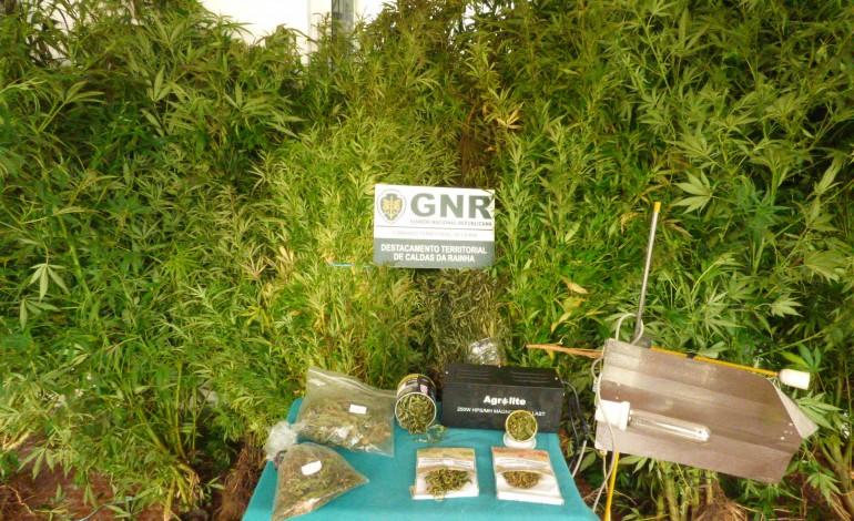 gnr-apreende-200-plantas-de-cannabis-nas-caldas-da-rainha