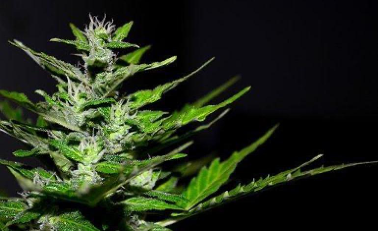 substancia-proveniente-da-cannabis-usada-no-tratamento-do-cancro