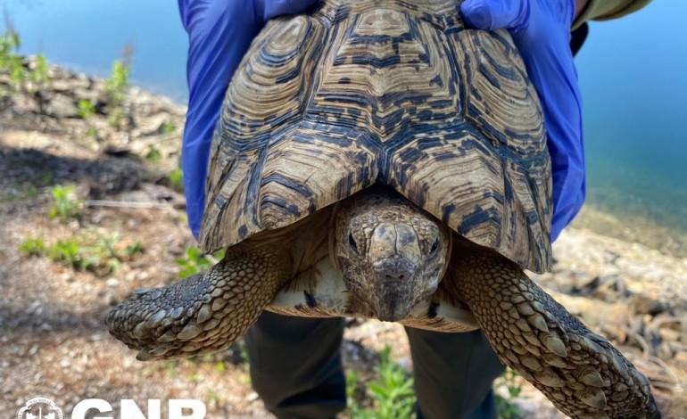 tartaruga-leopardo-encontrada-a-vaguear-em-rua-de-pedrogao-grande