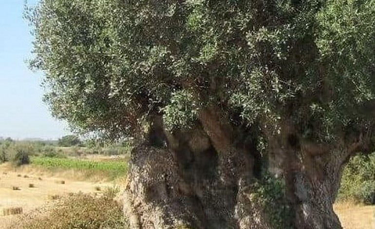 oliveira-milenar-destruida-na-freguesia-de-turquel
