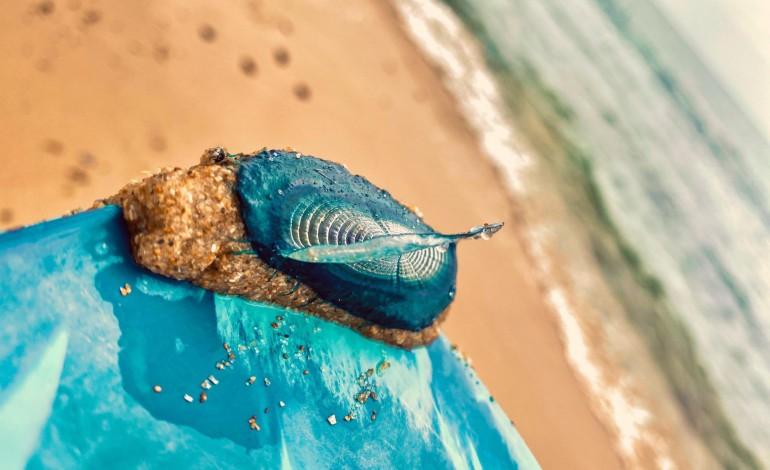 tocou-numa-medusa-velella-saiba-o-que-fazer-para-minimizar-as-reaccoes