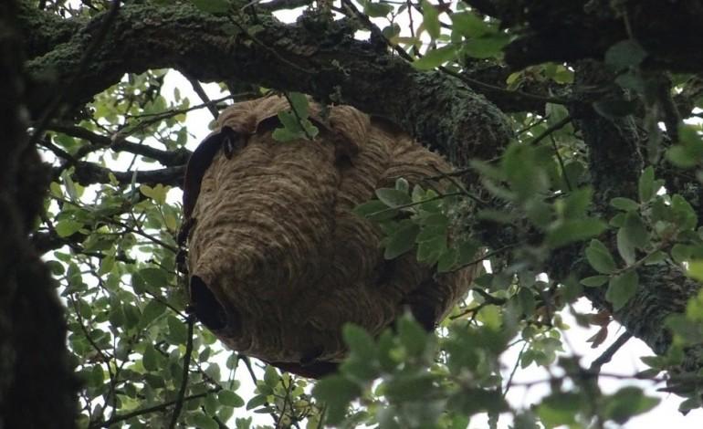 mais-de-600-ninhos-de-vespa-velutina-removidos-este-ano-em-pombal
