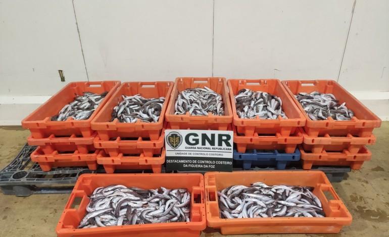 gnr-da-nazare-apreende-210-quilos-de-pescada-subdimensionada